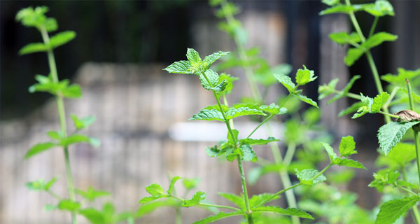 11 Plants That Repel Mosquitoes Video Naturalawn Of America Inc